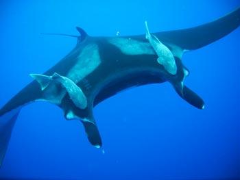 Manta Rays Diving Baja Mexico