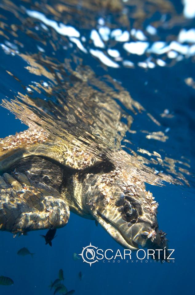 Green sea turtle, Los Cabos, Mexico