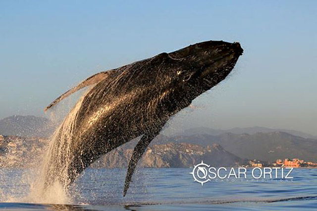 Whale rescue in the waters of Los Cabos Mexico