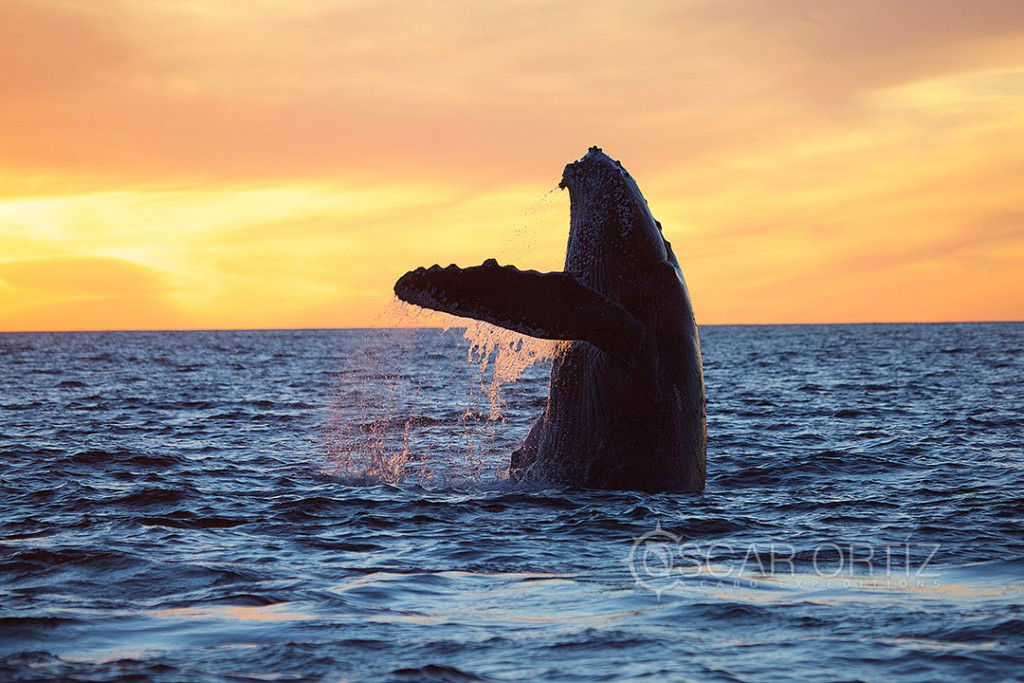 Whale Watching Tours in Los Cabos Mexico