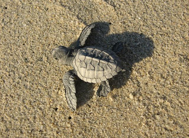 Sea Turtles in Los Cabos, Mexico