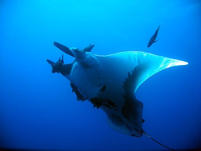 Gianta Pacific Manta Ray in Socorro Island Mexico