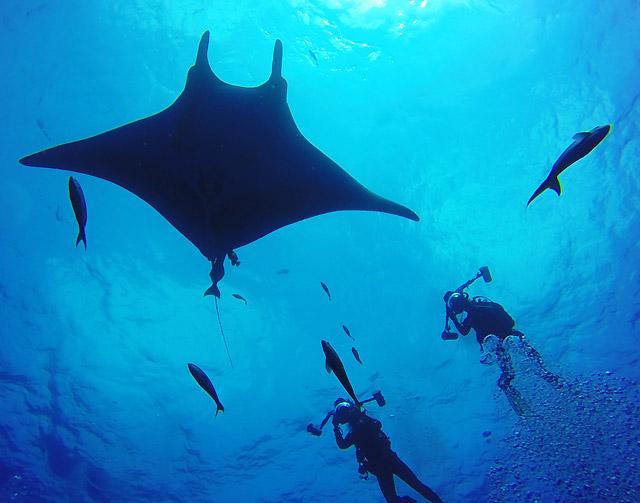 Giant manta ray at the Revillagigedo Islands