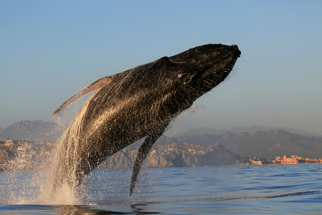 Whale watching in Los Cabos, Mexico