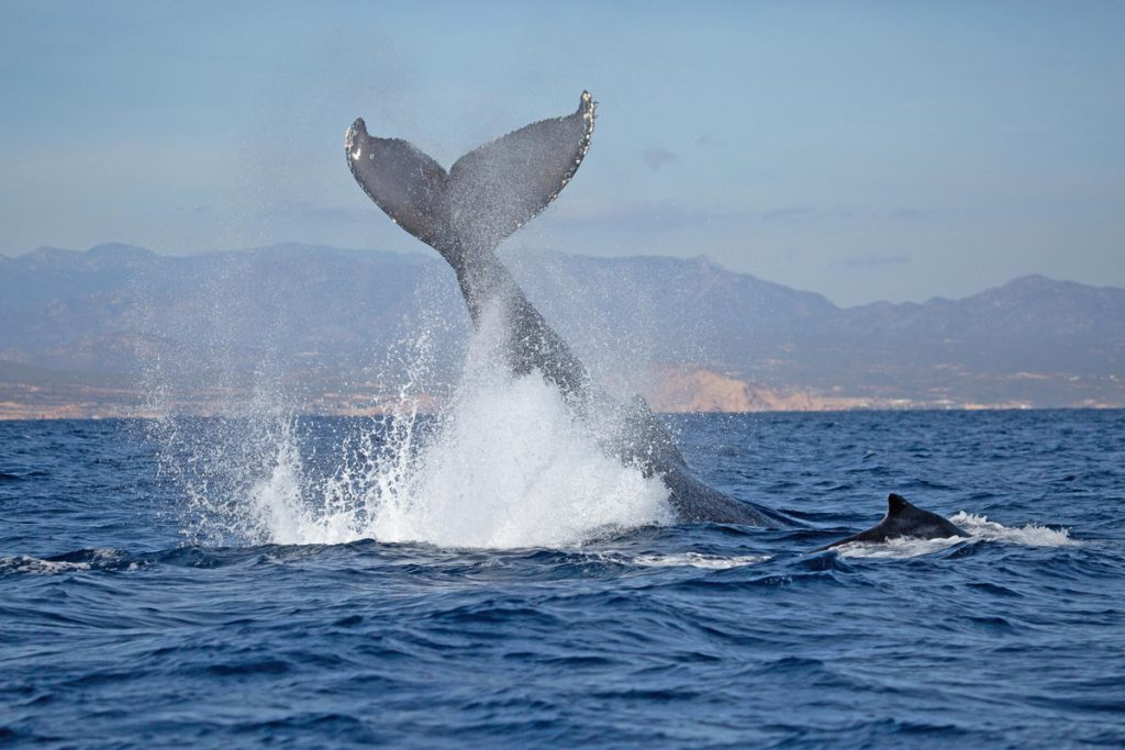Whale Watching Tours in Cabo San Lucas Mexico