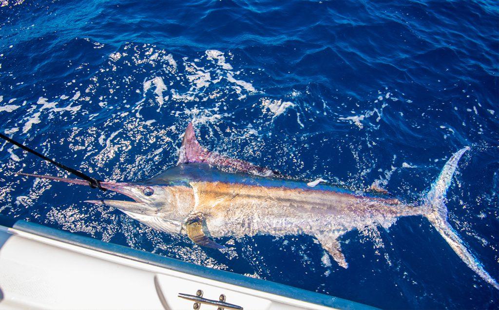 Sport Fishing for Marlin